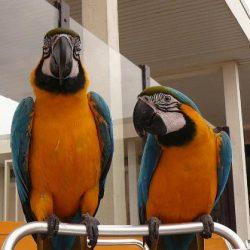 46935831_main_Macaws