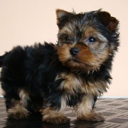 21252a6aa132b7ee10fb022da2531ba3--yorkie-puppies-for-adoption-yorkie-puppy